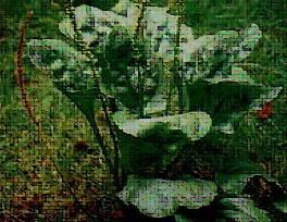 daun sendok/kitolod/kiurat